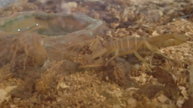 Warm Weather Bringing Out Bark Scorpions