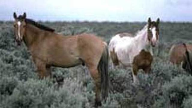 Panel: US Should Let Nature Cull Wild Horse Herds