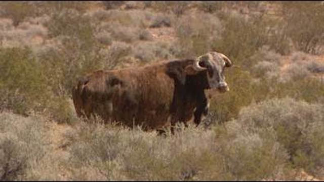 Nevada rancher's son freed, BLM collecting cattle