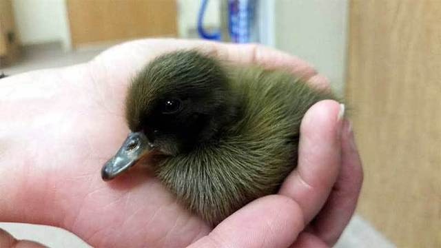 Duckling in drain pipe rescued