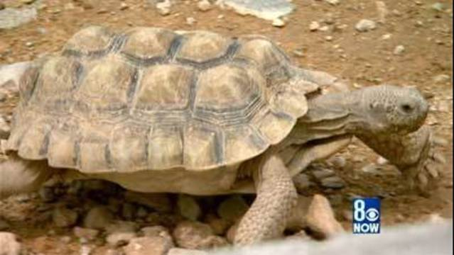 Millions spent to 'save' desert tortoise questioned