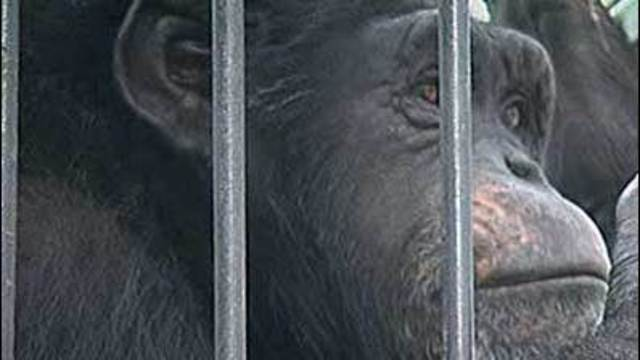 I-Team: Inside Chimps' Lives Before Deadly Shooting