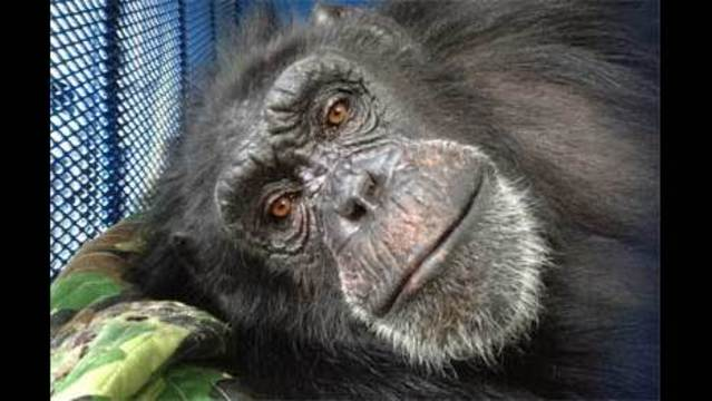 CJ the Chimp Arrives at Oregon Sanctuary