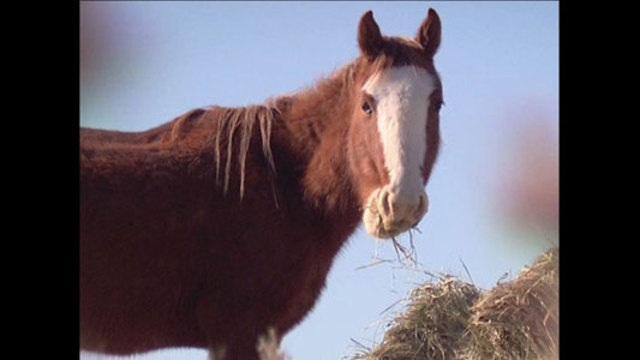 Street Talk: Wild Horses Targeted For Possible Slaughter