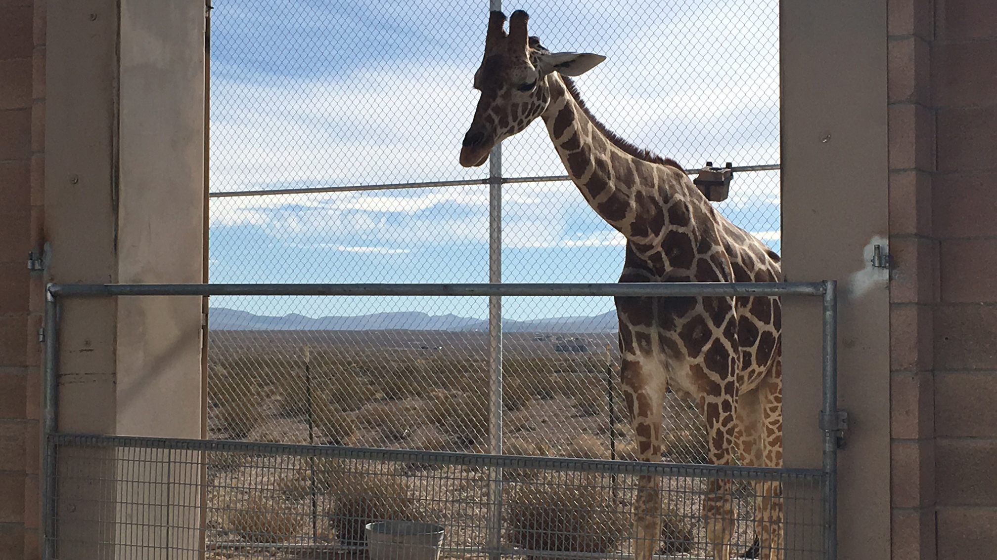 This week wildlife officials put giraffes on the list of threatened