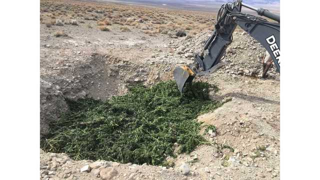 2,385 marijuana plants seized, destroyed by law enforcement officers