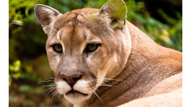 A cougar in your luggage? Hunting carcass snagged at airport
