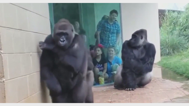MUST SEE VIDEO: Gorillas in the rain