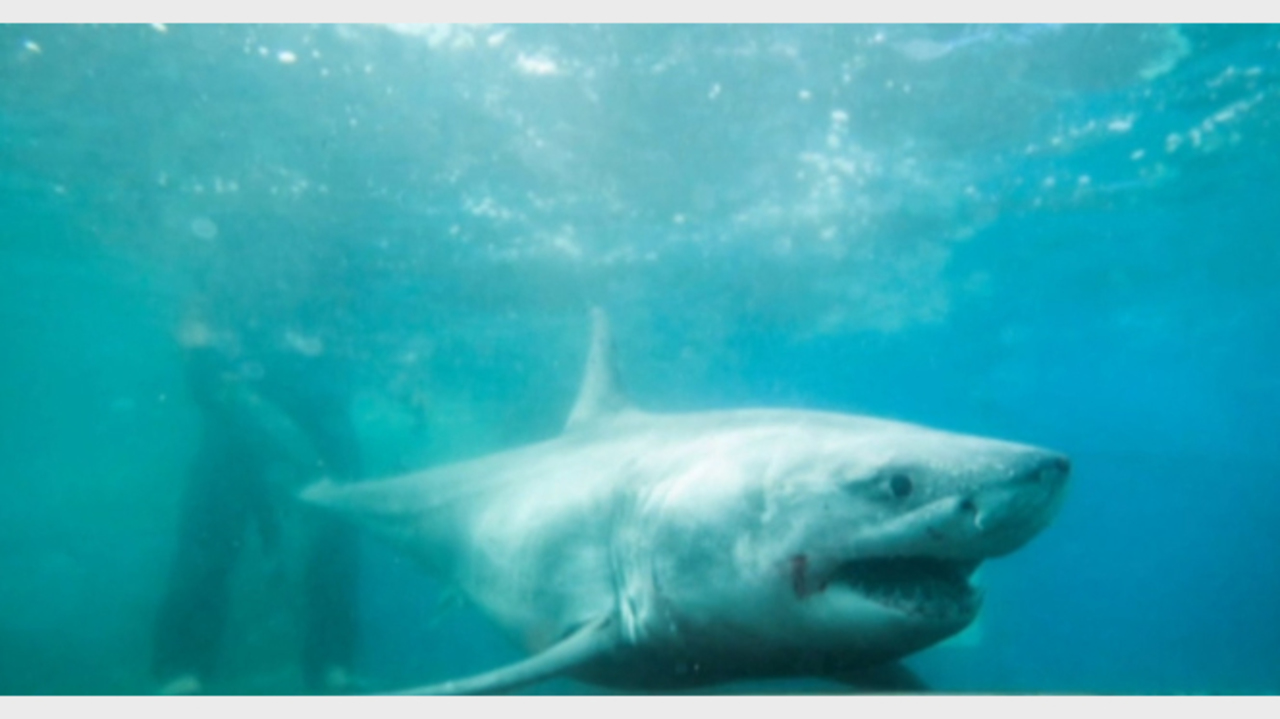 Great white shark tracked swimming in Long Island Sound
